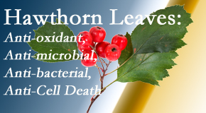 Spinal Care Clinic presents new research regarding the flavonoids of the hawthorn tree leaves' extract that are antioxidant, antibacterial, antimicrobial and anti-cell death.